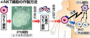 iPSから「がん攻撃細胞」、肺がん治療など応用期待…京大チーム