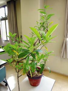 健康植物(1) マテ茶アルコール性肝炎予防