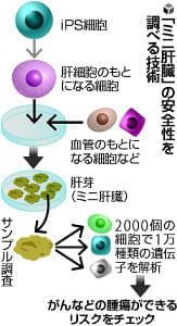 iPS由来の「ミニ肝臓」、安全性チェックできる技術を開発…横浜市大など