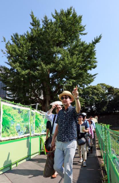 「震災いちょう」の周りをウォーキングする泉さんと参加者