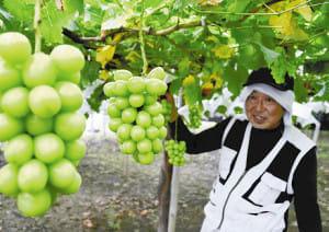 種なしブドウ 皮ごとパクリ…甲府市