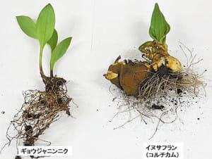 有毒植物、山菜と間違え食中毒…10年間で10人死亡