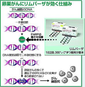 再発した卵巣がんに新薬「リムパーザ」…がん細胞の修復妨げ死滅促進