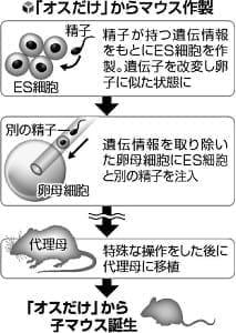 精子の遺伝情報で、オス2匹からマウス誕生…人間に応用は?