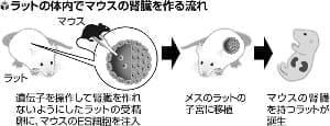マウスの腎臓、異種のラット体内で作製…人の移植用腎臓への応用期待