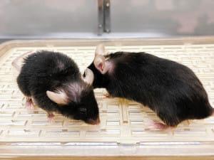 若返り酵素か…マウスの毛づや良く、寿命延びる