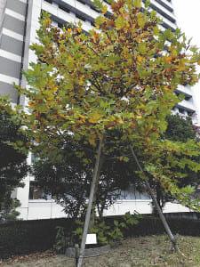 「医学の父」ヒポクラテスの木 北海道へ…大阪市大の苗木 北大に移植