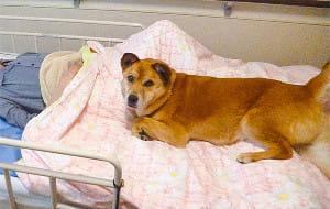 [看取り犬・文福](2)犬は人の死を予測できる? 亡くなる前、ベッドで顔を見つめ…