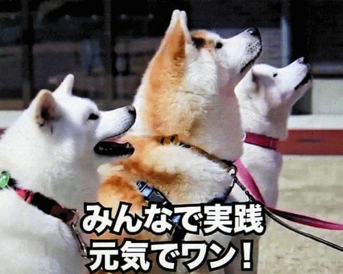 秋田犬が手洗いのお手本、前足泡立てタオルで拭き取り