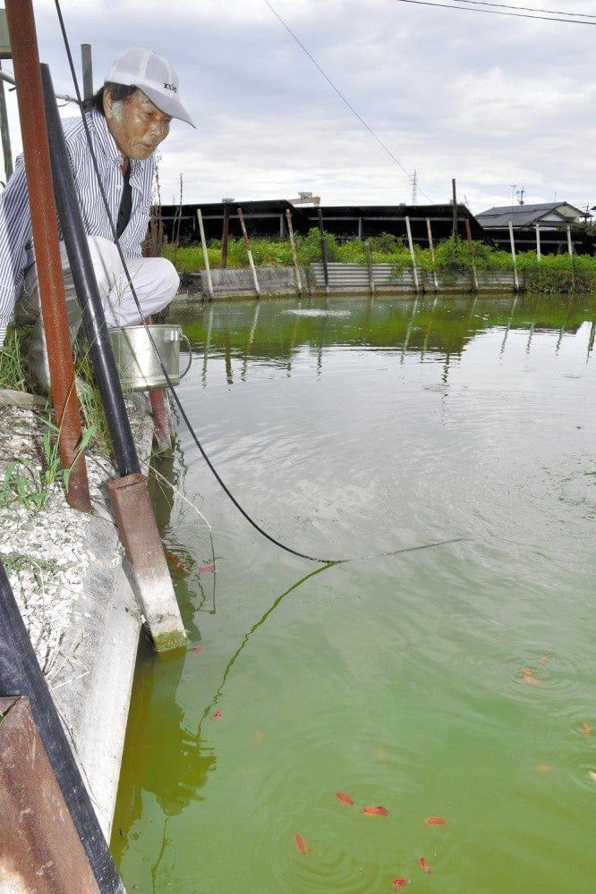 池で飼育するすくい用の金魚に目をやる松井さん