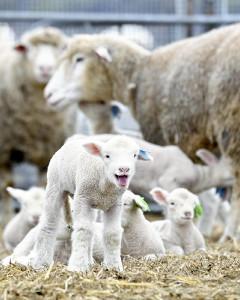 羊の出産ピーク、獣舎走り回るかわいい姿