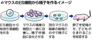 ES細胞から試験管内で精子…マウスで成功、不妊治療の研究に応用も
