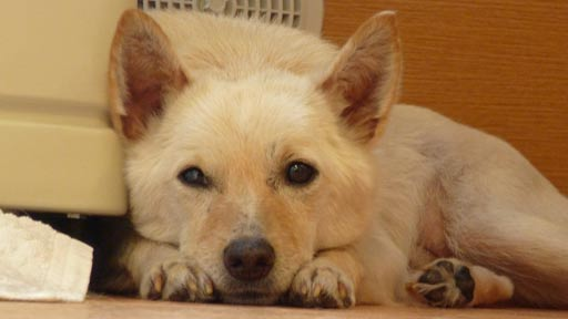 認知症の女性を癒やした犬(下)「アラシ」がいるから大丈夫