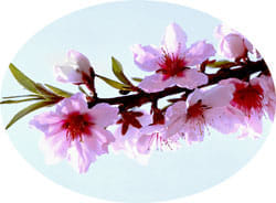 桃の花(バラ科) 落葉小高木